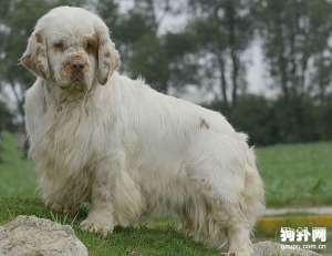 【西班牙小猎犬标准】西班牙小猎犬体态特征及饲养方法